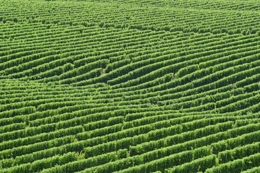 dg316022. brancott estate vineyards. blenheim. new zealand. 11.1.19crop