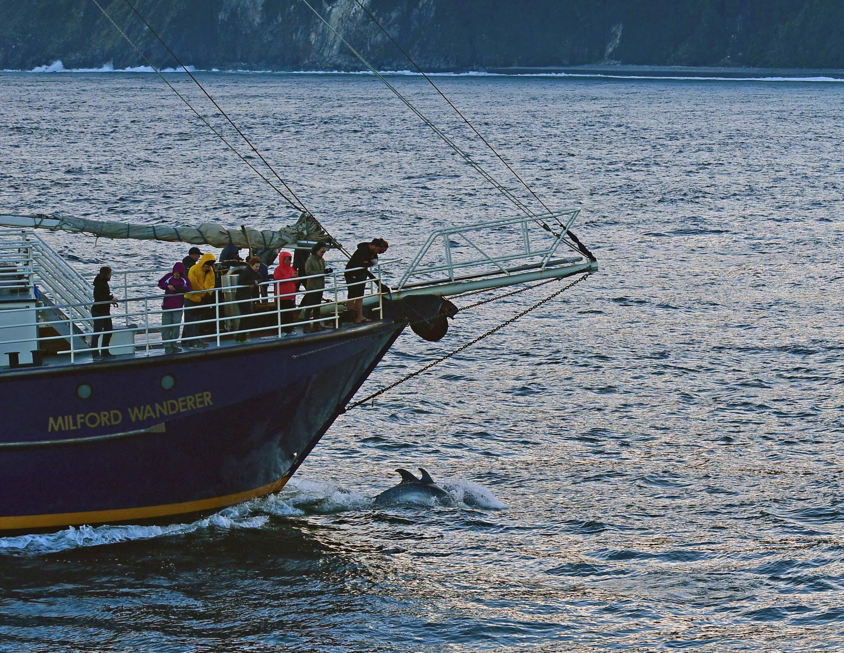 dg317927. dolphins. milford sound. south island. new zealand. 24.1.19crop