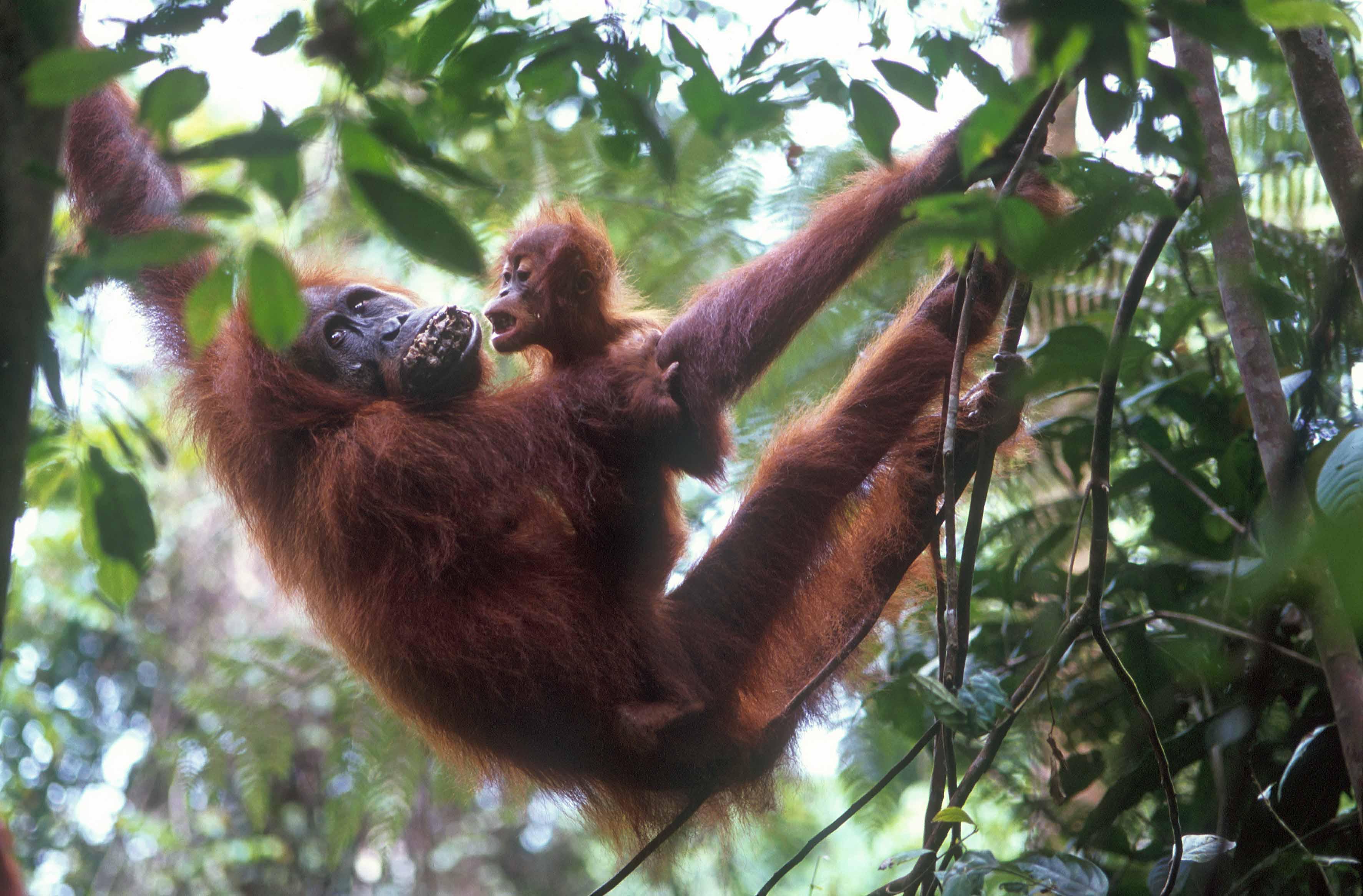 T7665. Orang-Utans. Bukit Lawang. Sumatra. Indonesia. 1992.crop