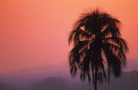 T7617. Palm at Sunset.Lake Meninjau. Sumatra. 1992.crop